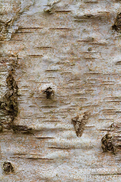 Agriopis leucophaearia - Kleine voorjaarsspanner