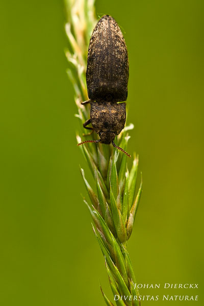 Agrypnus murina - Muisgrijze Kniptor