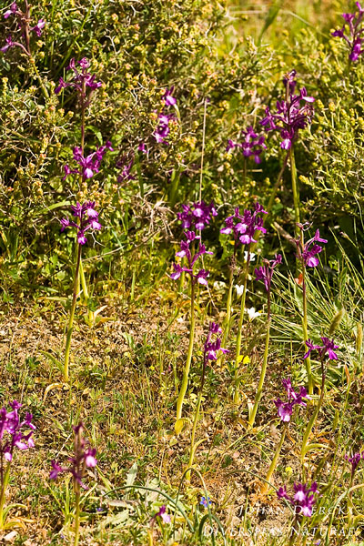 Anacamptis boryi - Kretenser orchis