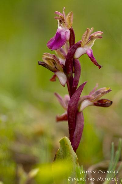 Anacamptis collina - Heuvelorchis