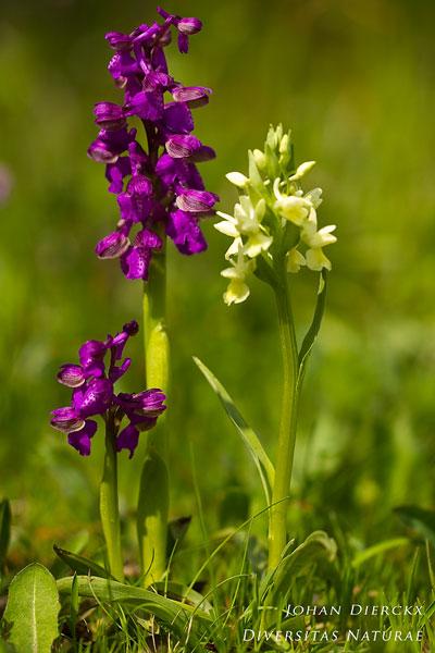 Anacamptis morio - Harlekijn & Dactylorhiza romana - Romeinse orchis