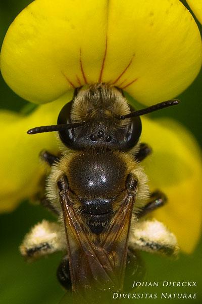 Andrena wilkella - Geelstaartklaverzandbij