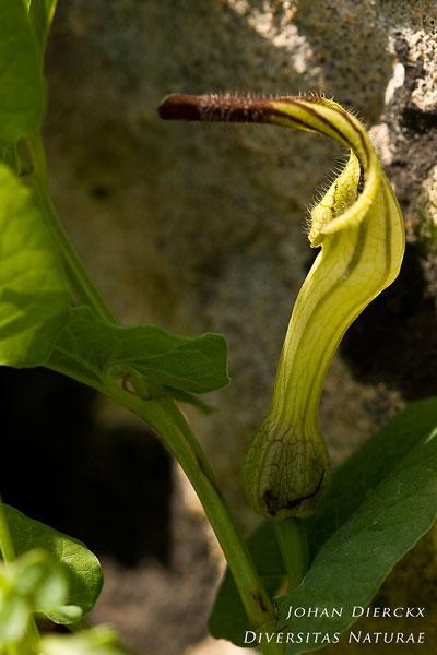 Aristolochia clusii