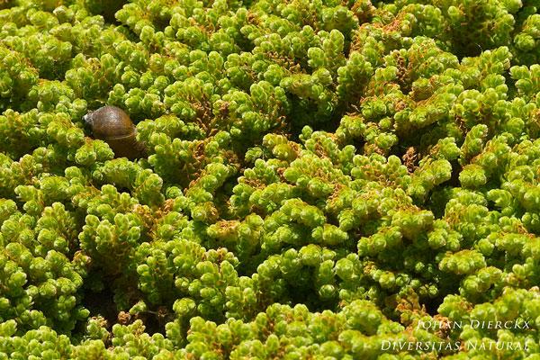 Azolla filiculoides - Grote kroosvaren