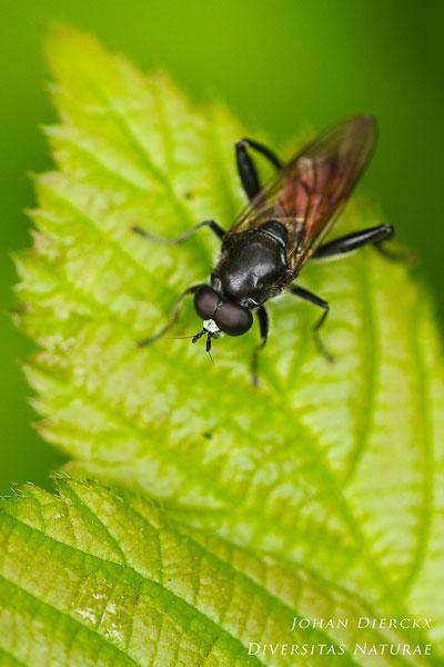 Brachypalpoides lentus - Bloedrode Bladloper