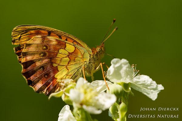Brenthis daphne - Braamparelmoervlinder