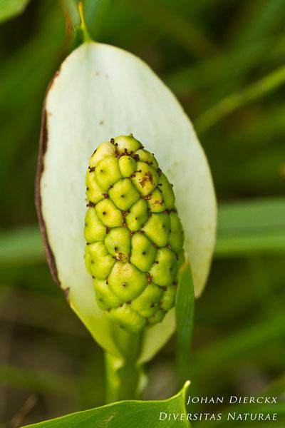 Calla palustris - Slangenwortel