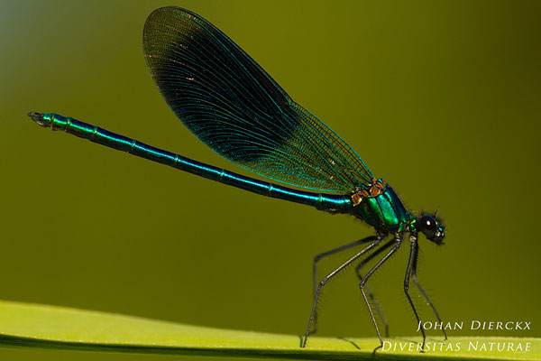 Calopteryx splendens - Weidebeekjuffer (M)