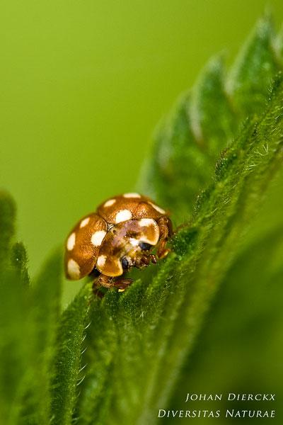 Calvia quatuordecimguttata - Roomvleklieveheersbeestje