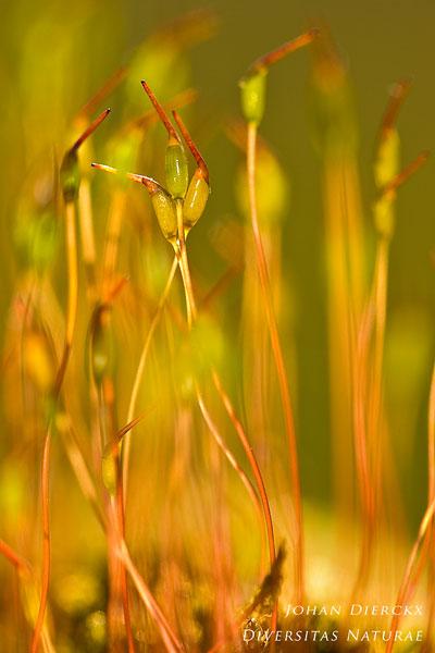 Ceratodon purpureus - Gewoon purpersteeltje