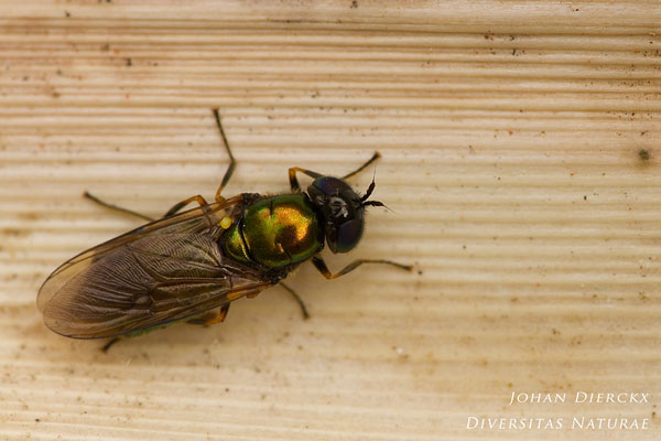 Chloromyia formosa - Prachtwapenvlieg