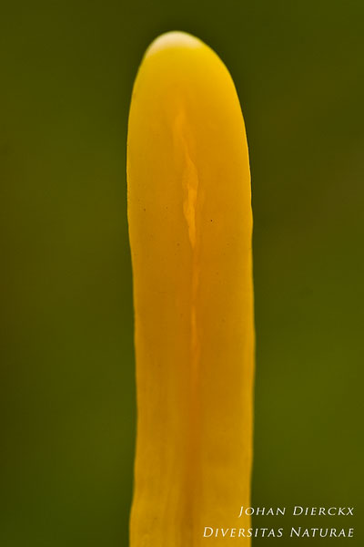 Clavulinopsis helvola - Gele Knotszwam