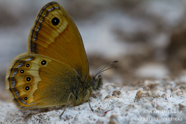 Coenonympha dorus - Bleek hooibeestje