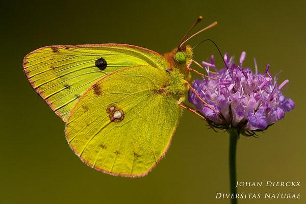 Colias alfacariensis - Zuidelijke luzernevlinder
