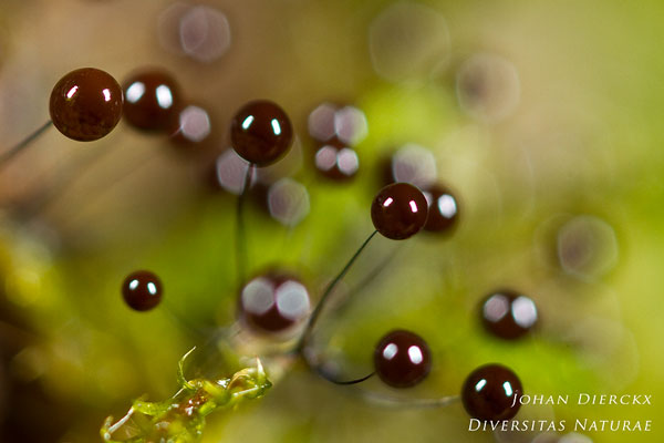 Comatricha nigra - Langstelig kroeskopje