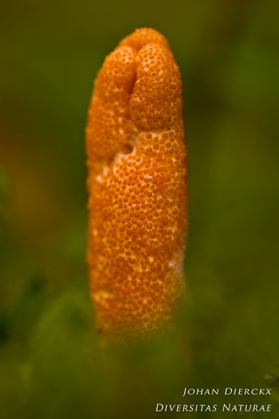 Cordyceps militaris - Rupsendoder