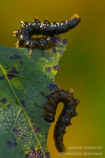 Craesus latipes