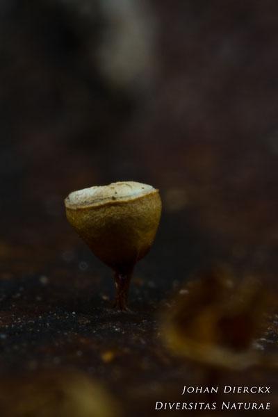 Craterium minutum - Witdekselkalkbekertje