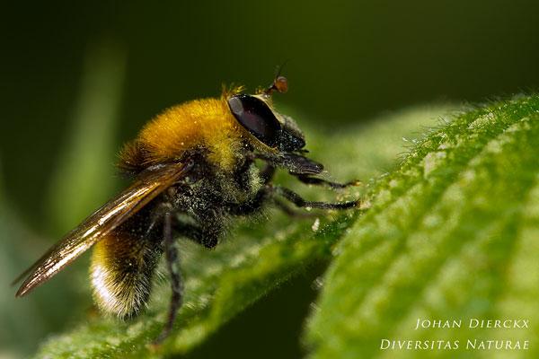 Criorhina berberina - Kleine Woudzwever