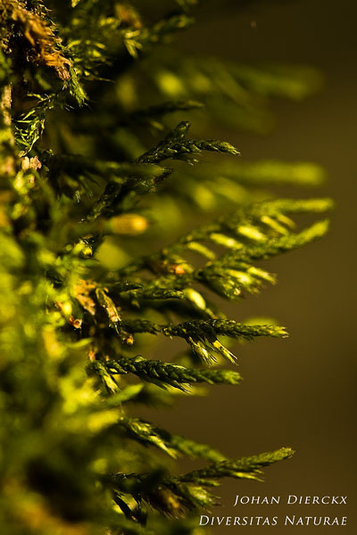 Cryphaea heteromalla - Vliermos