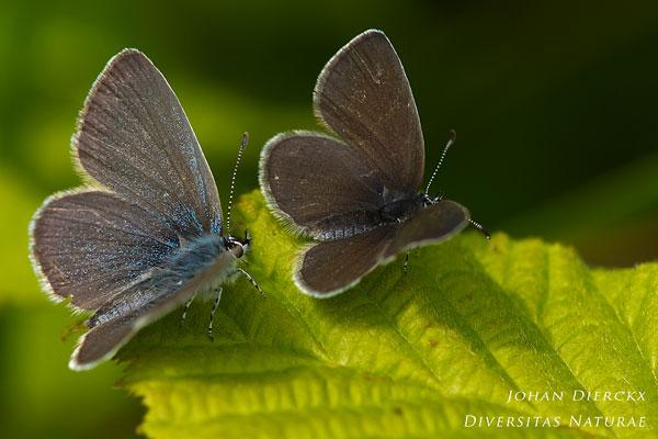 Cupido minimus - Dwergblauwtje