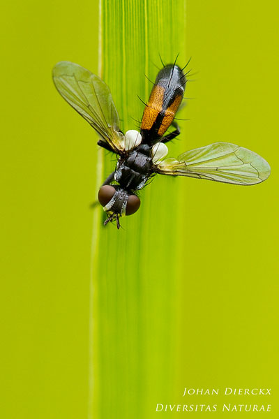 Cylindromyia interrupta