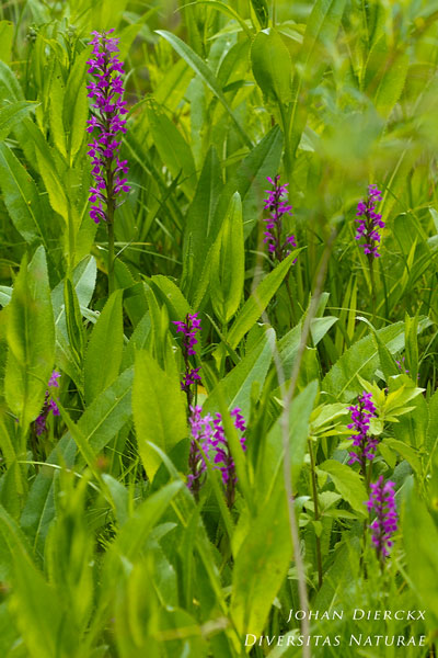 Dactylorhiza traunsteineri - Smalbladige orchis