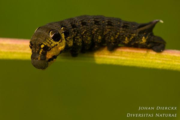 Deilephila elpenor - Groot avondrood
