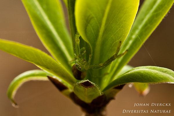 Diaea dorsata - Groene Krabspin