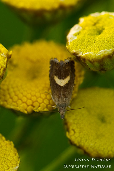 Dichrorampha petiverella - Kommawortelmot
