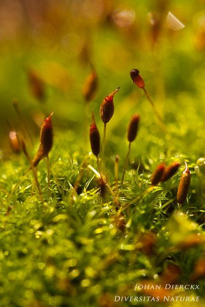 Dicranoweisia cirrata - Gewoon sikkelsterretje