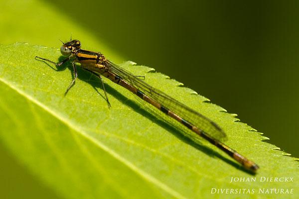 Enallagma cyathigerum - Watersnuffel (F)