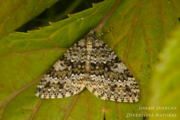 Entephria flavicinctata