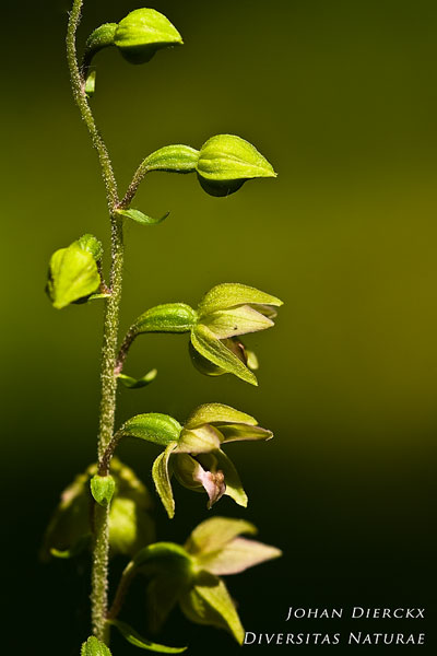 Epipactis helleborine - Brede wespenorchis