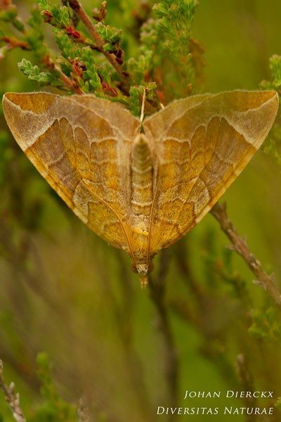 Eulithis testata - Oranje agaatspanner