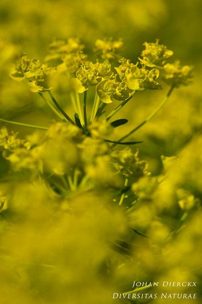 Euphorbia cyparissias - Cipreswolfsmelk