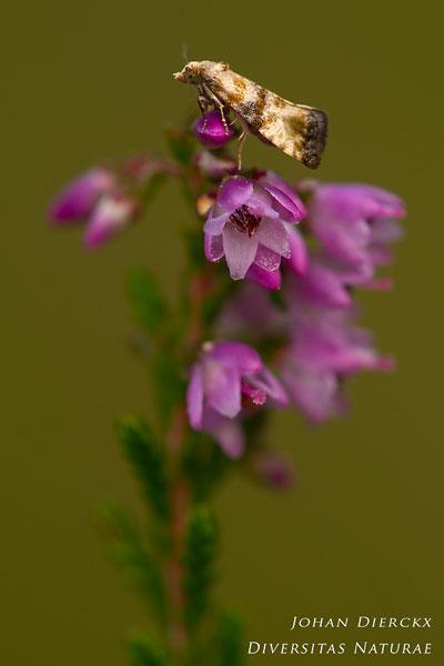 Eupoecilia angustana - Gewoon smalsnuitje