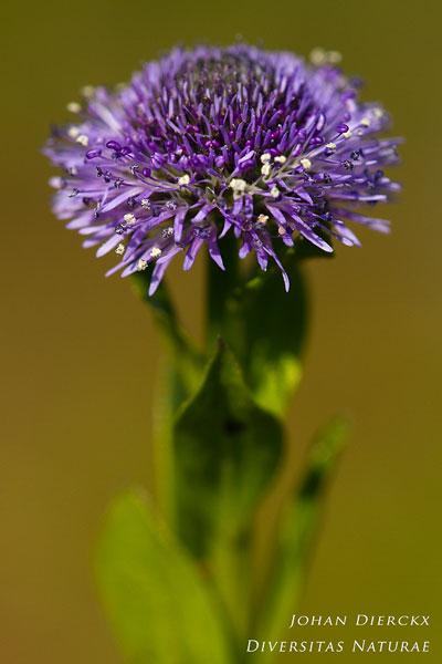Globularia bisnagarica - Kogelbloem