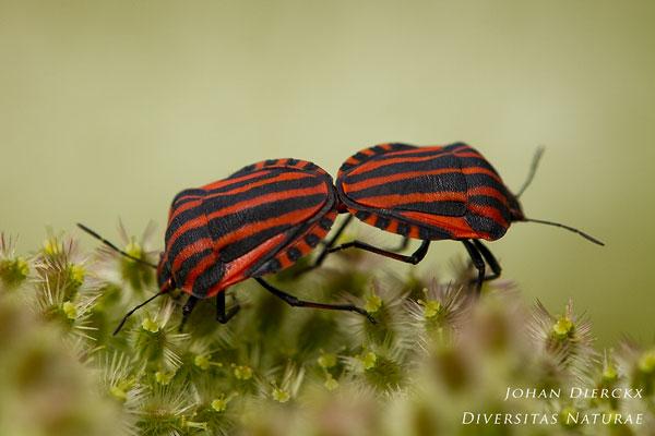 Graphosoma lineatum - Pyjamawants