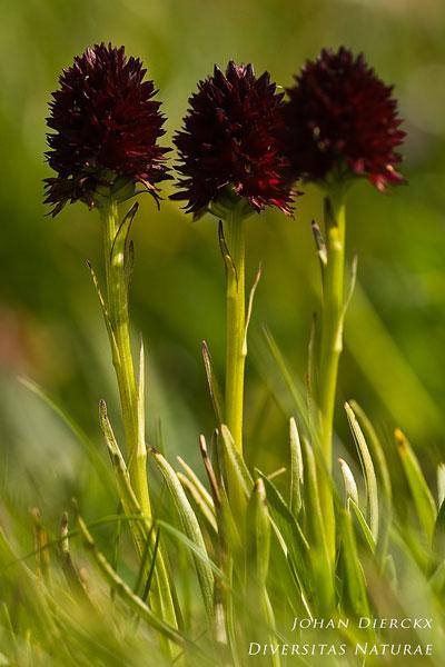 Gymnadenia rhellicani - Zwarte vanilleorchis