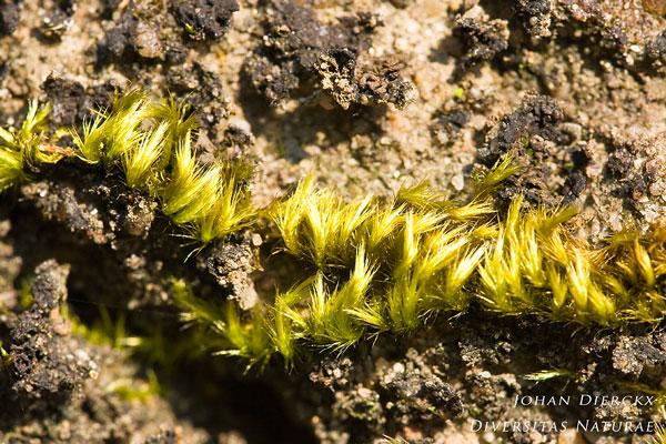 Homalothecium sericeum - Gewoon zijdemos
