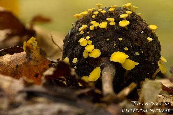Hymenoscyphus fructigenus - Eikeldopzwam