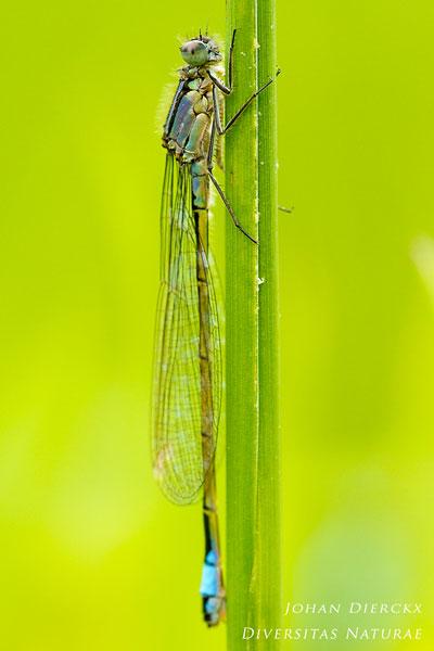 Ischnura elegans f. violacea - Lantaarntje