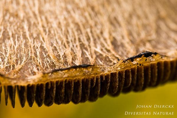 Lacrymaria lacrymabunda - Tranende Franjehoed