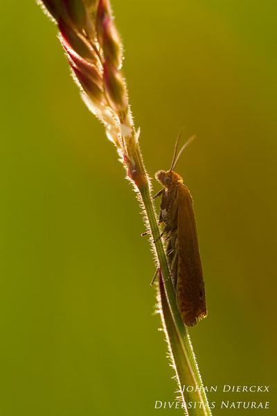 Lathronympha strigana - Hertshooibladroller
