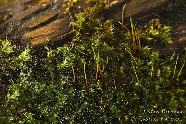 Leptodictyum riparium - Beekmos