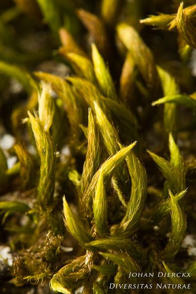 Leucodon sciuroides - Eekhoorntjesmos