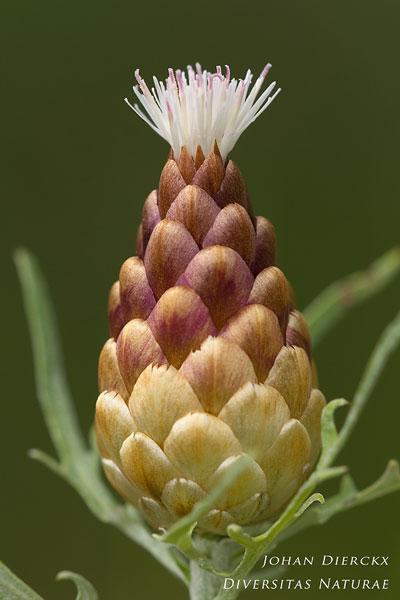Rhaponticum coniferum - Kegeldragende centaurie