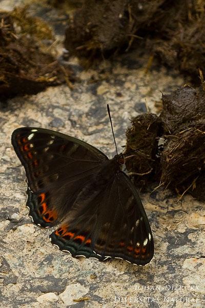 Limenitis populi - Grote ijsvogelvlinder