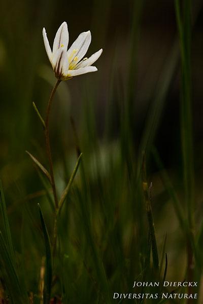Lloydia serotina - Vouwlelie